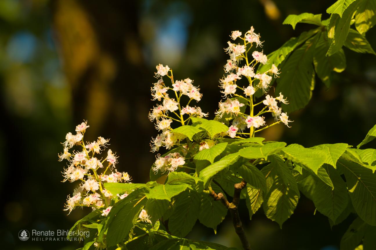 Die Weiße Rosskastanie (Aesculus hippocastanum), eine Heilpflanze aus dem Repertorikum von Heilpraktikerin Renate Bihler-Jörg.