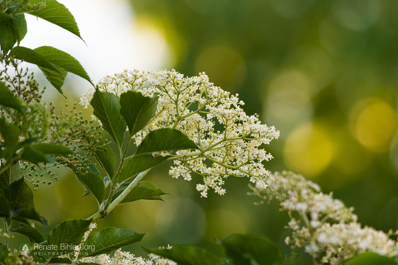 Der Schwarze Holunder (Sambucus nigra), eine Heilpflanze aus dem Repertorikum von Heilpraktikerin Renate Bihler-Jörg.