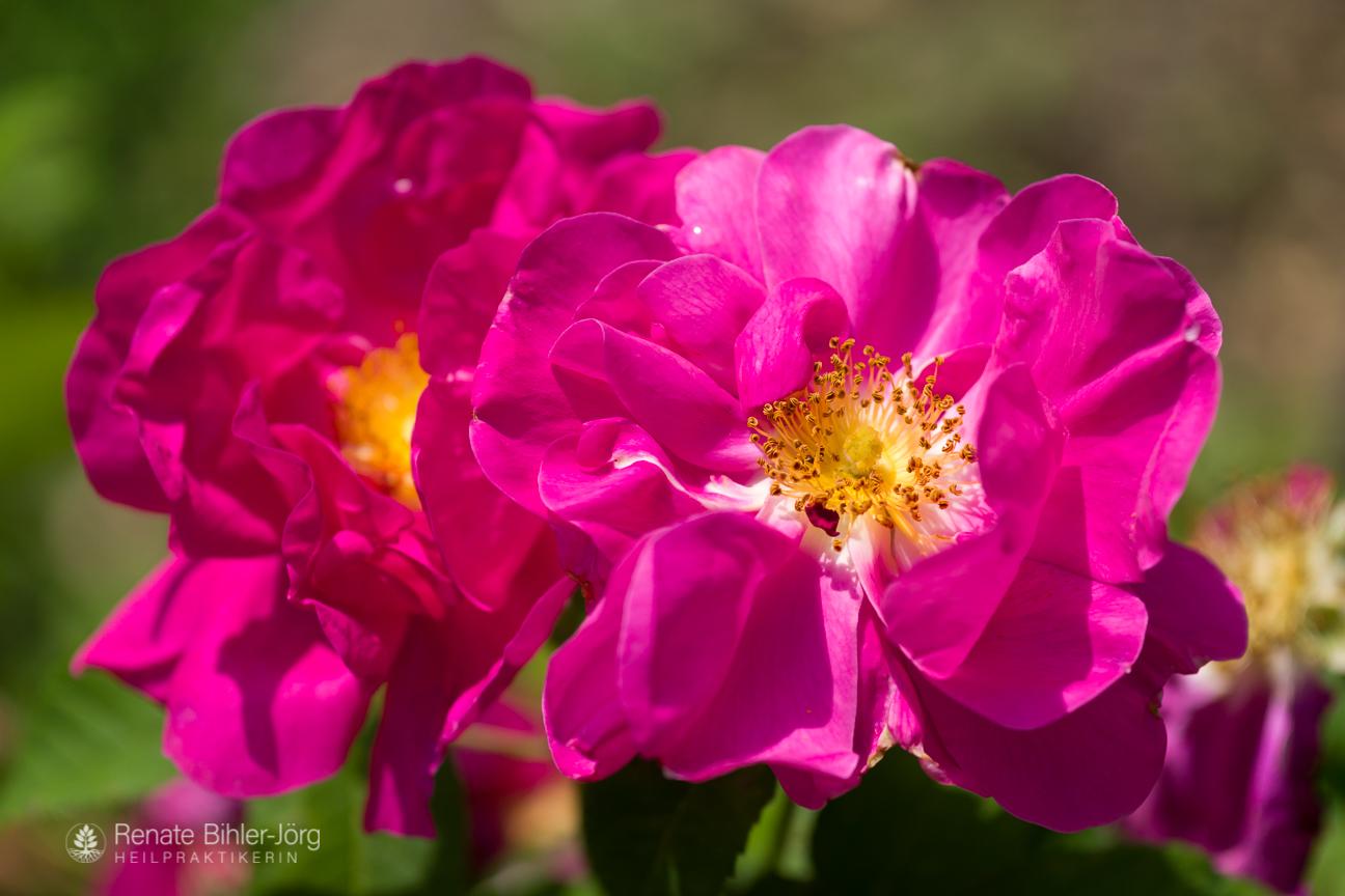 Die Apothekerrose (Rosa gallica officinalis), eine Heilpflanze aus dem Repertorikum von Heilpraktikerin Renate Bihler-Jörg.