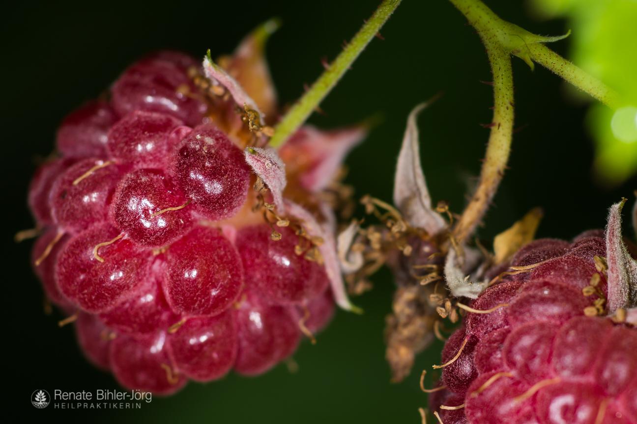 Die Himbeere (Rubus idaeus), eine Heilpflanze aus dem Repertorium von Heilpraktikerin Renate Bihler-Jörg.