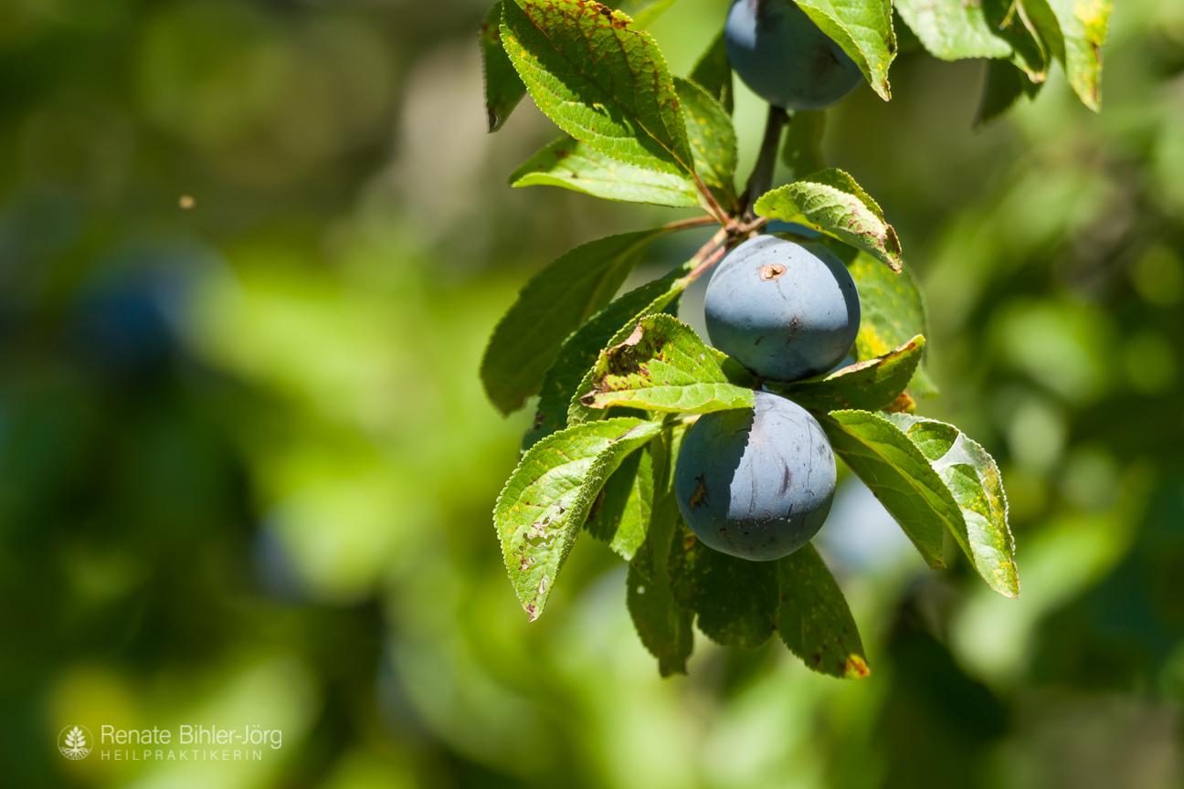 Die Echte Zwetschge (Prunus domestica subsp. domestica) , eine Heilpflanze aus dem Repertorium von Heilpraktikerin Renate Bihler-Jörg.